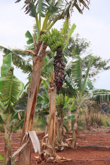 ドールプランテーション バナナ